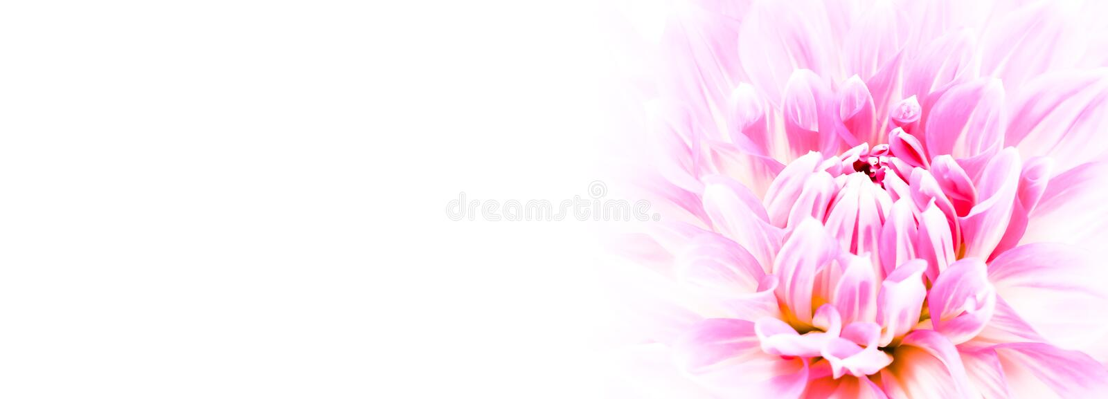 White and purple pink colourful dahlia flower macro photo with intense vivid colors in white wide banner empty background panorama. With large negative space stock photos