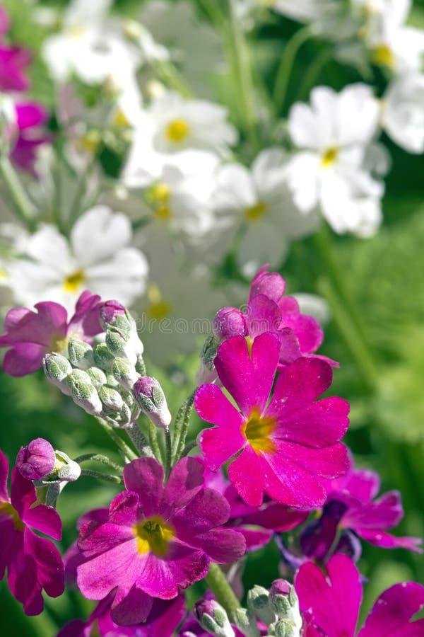 White and Purple Primula stock photos