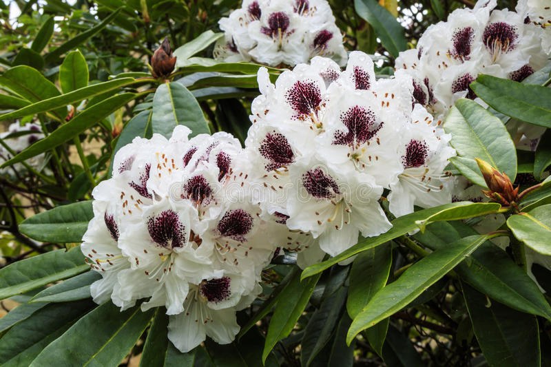 White and purple rhododendron flowers. royalty free stock images