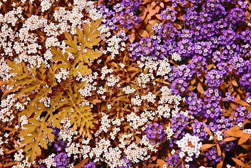White and purple rock cress flowers stock image image of bright download white and purple rock cress flowers stock image image of bright garden mightylinksfo