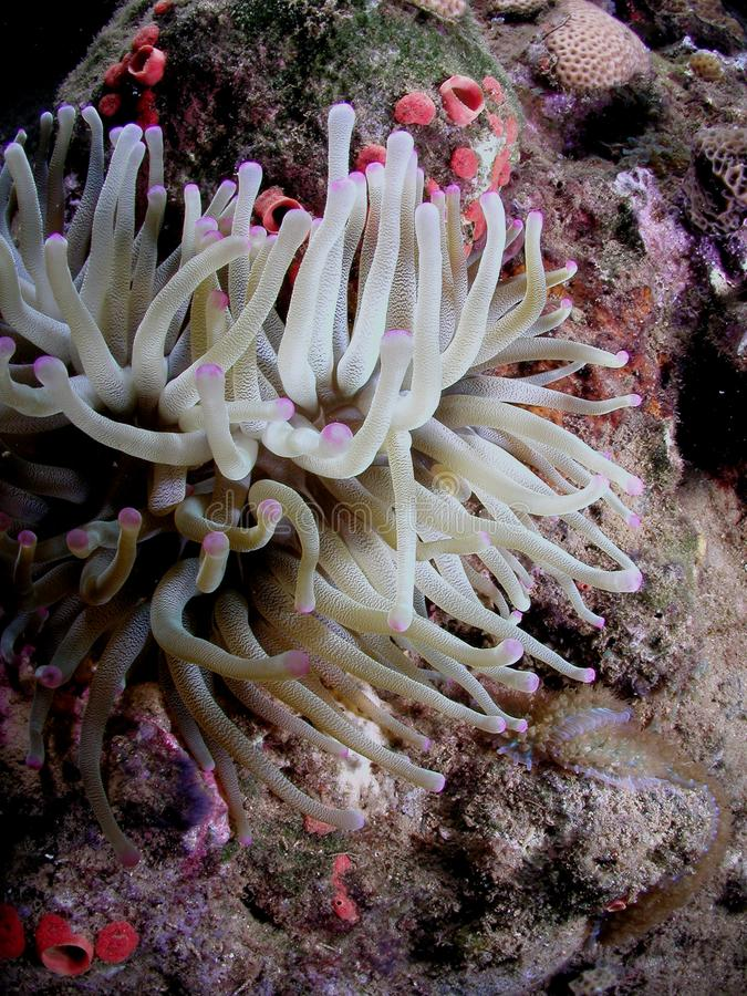 White purple tip anemone royalty free stock images
