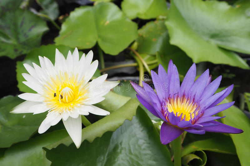 White and purple water lily. For worship in Buddhism royalty free stock photo