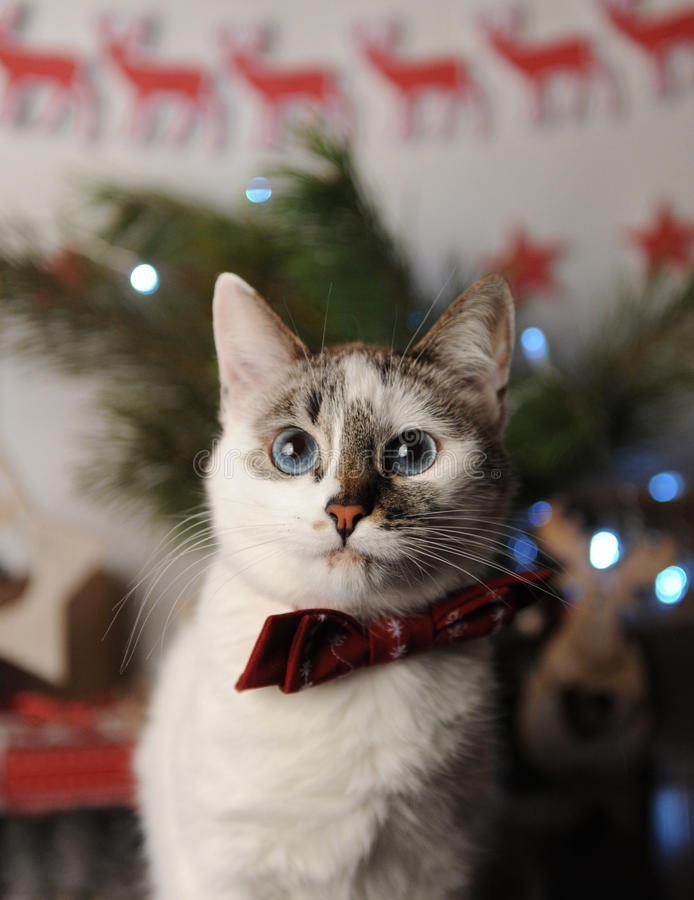 White pushstny eyed cat in a burgundy bow tie with embroidered pattern in a New Year`s interior. Christmas decorations. Garland, reindeer, Christmas tree stock images