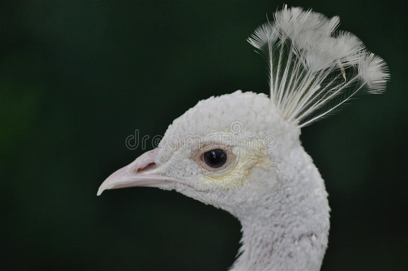 White Queen. A profile of a magnificent peacock bird on a dark background stock image