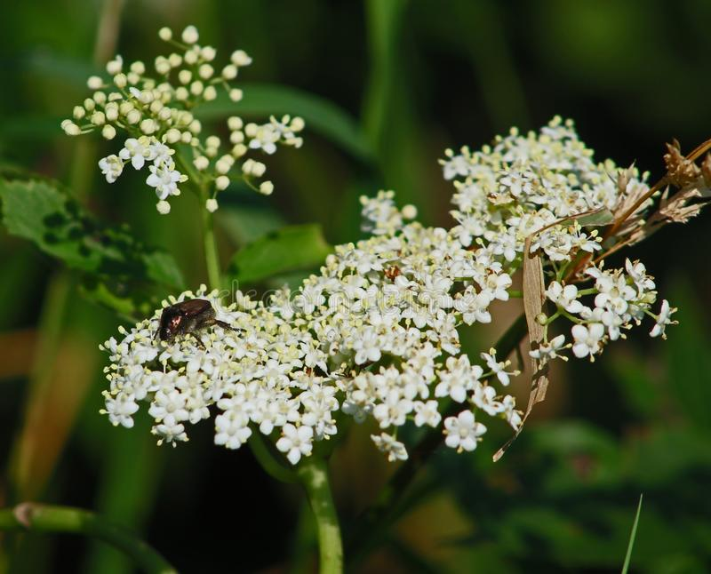 White Queen Anne Lace wildflowers and beetle stock photography