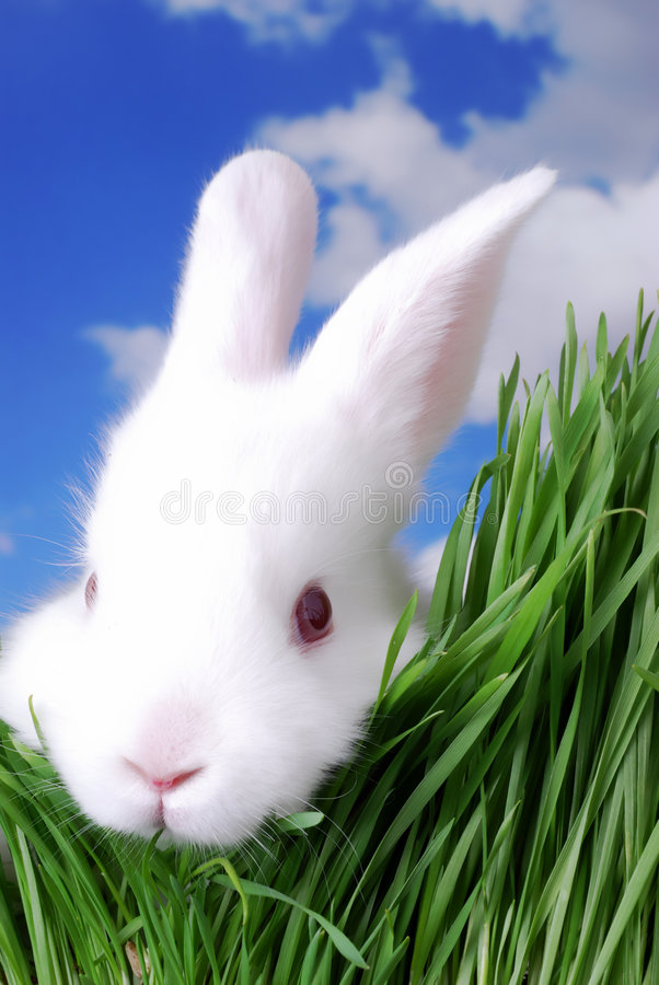 White Rabbit. Rabbit hiding in the grass royalty free stock images
