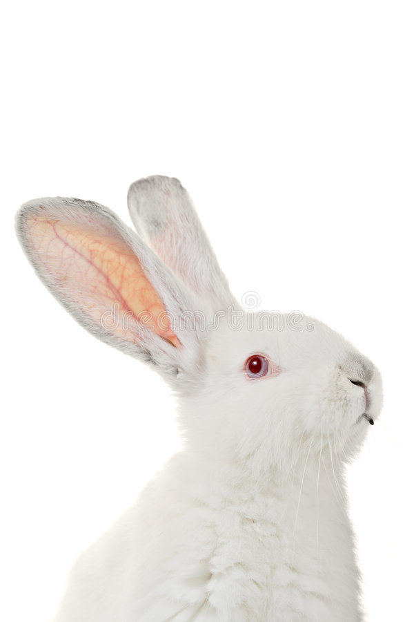 White rabbit. Against white background royalty free stock photos
