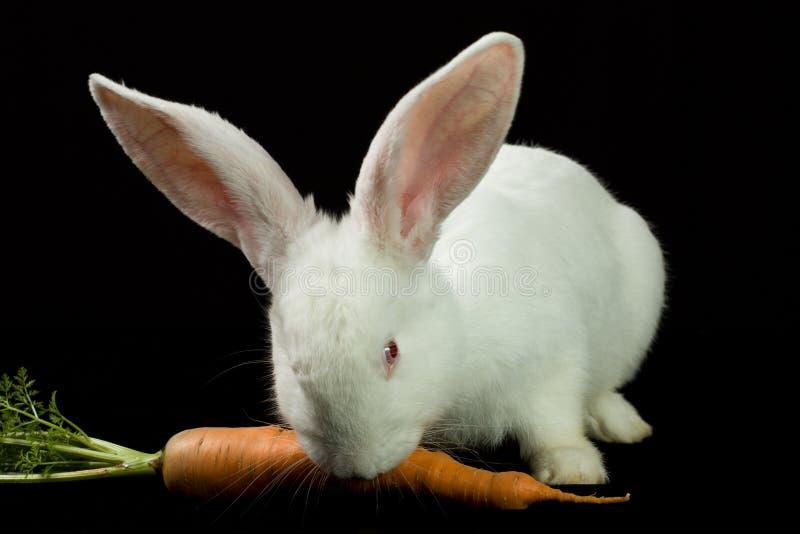 White rabbit on a black background stock image
