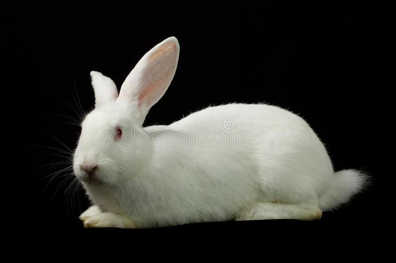 White rabbit on a black background stock images