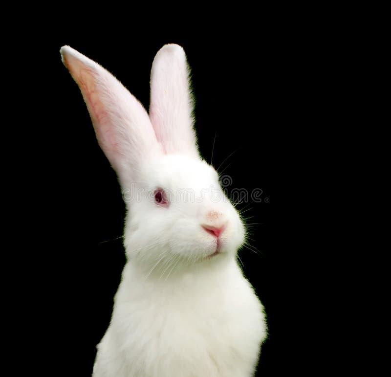 White Rabbit on Black Background. A cute white rabbit on a black background - the symbol of 2011 stock image