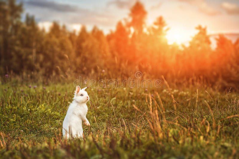 White rabbit or bunny on green meadow in nature, happy easter symbol.  royalty free stock images