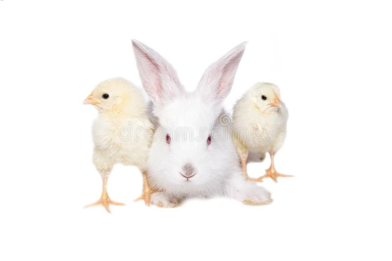 White rabbit with chickens on royalty free stock photo