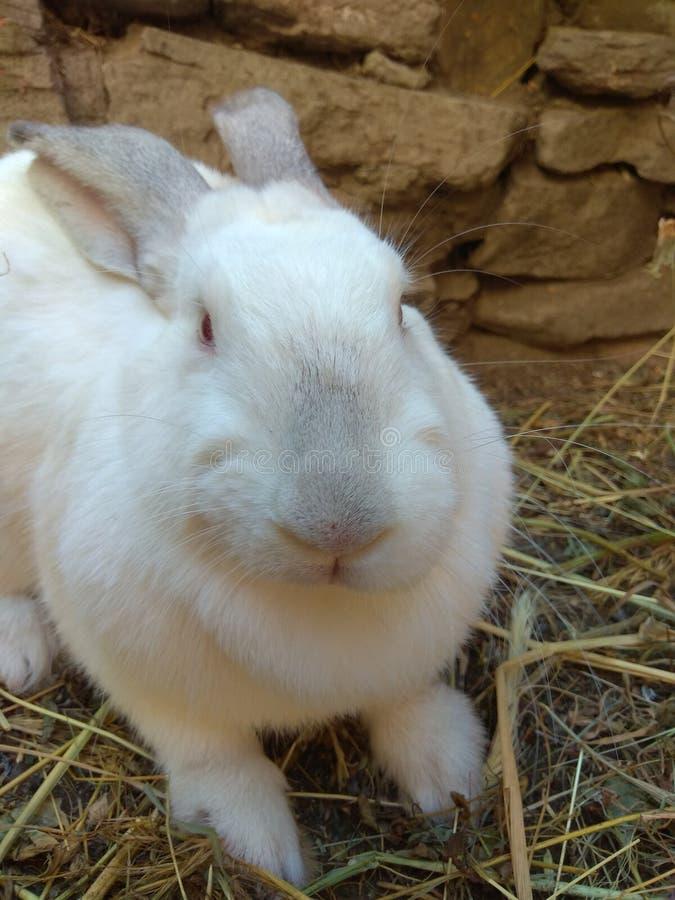 White Rabbit Close-Up royalty free stock photography