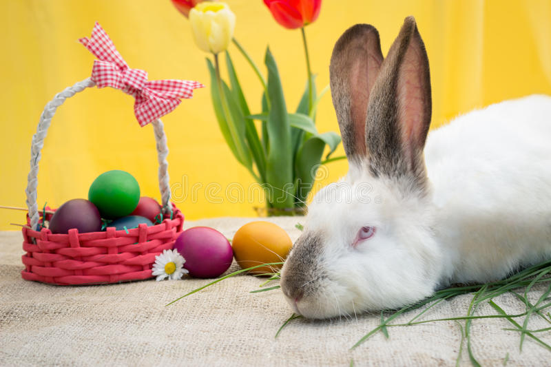 White rabbit with eggs in the basket stock photography