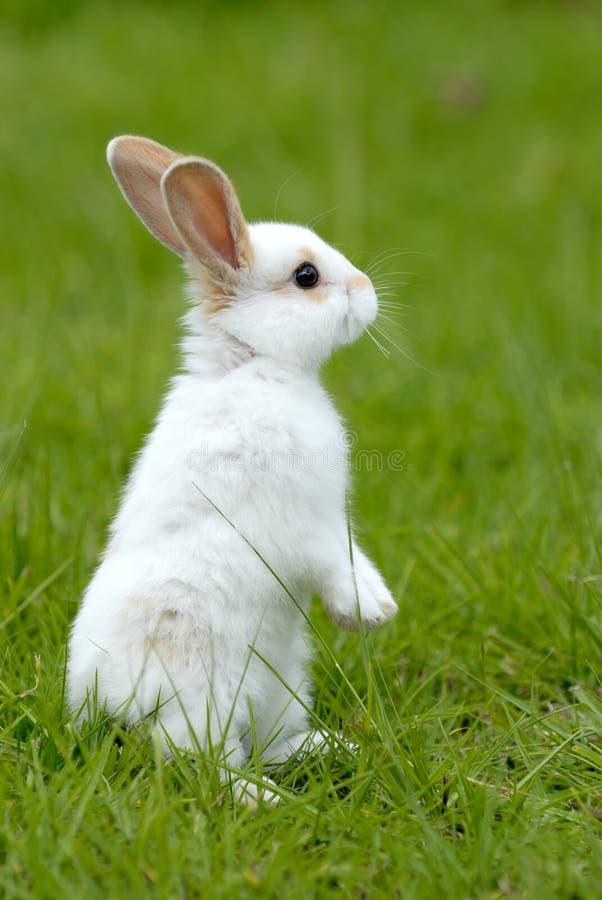White rabbit on the grass stock photos