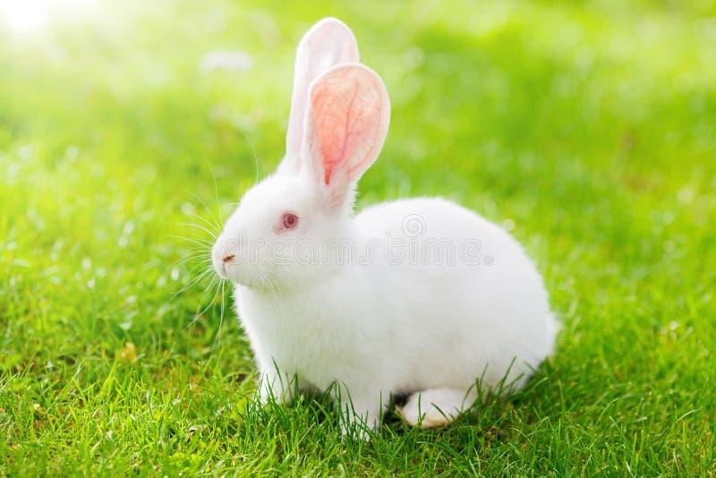 White rabbit. On green grass stock images