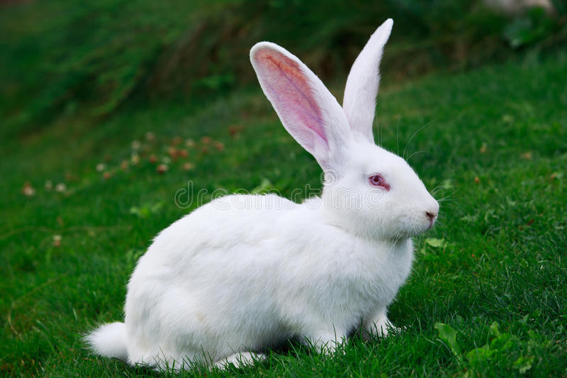 The white rabbit stock image