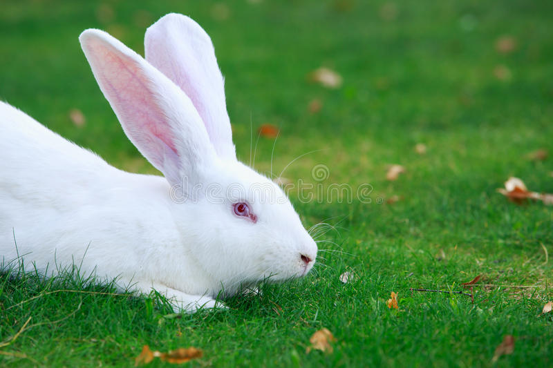The white rabbit stock images