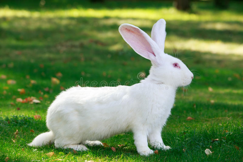 The white rabbit royalty free stock photo