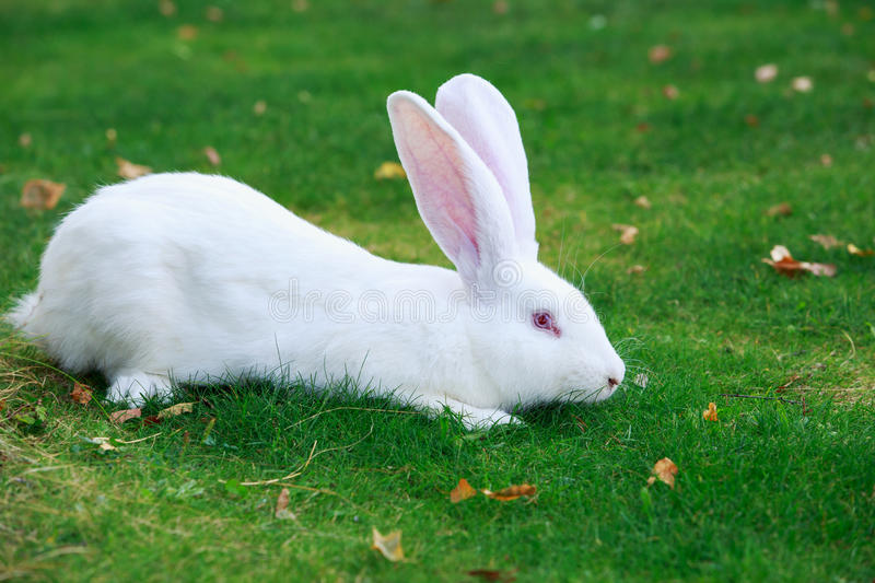 The white rabbit royalty free stock photography