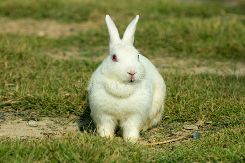 White rabbit in a green grass. White rabbit on green grass in the farm royalty free stock photo
