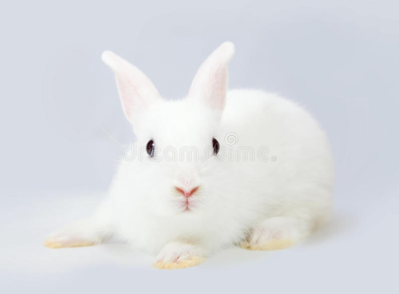 White rabbit on grey stock photography