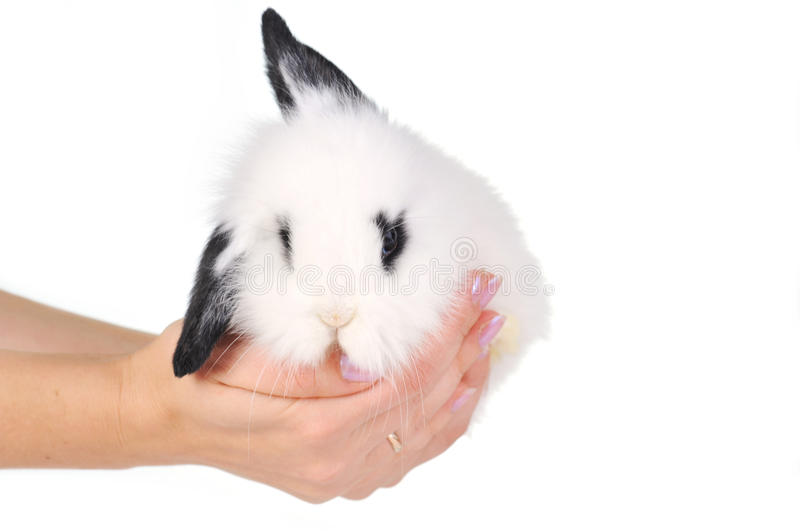 White rabbit in hands royalty free stock photo