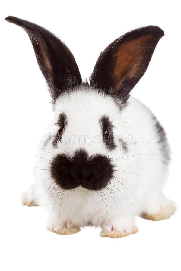 White rabbit. Isolated on white background royalty free stock images