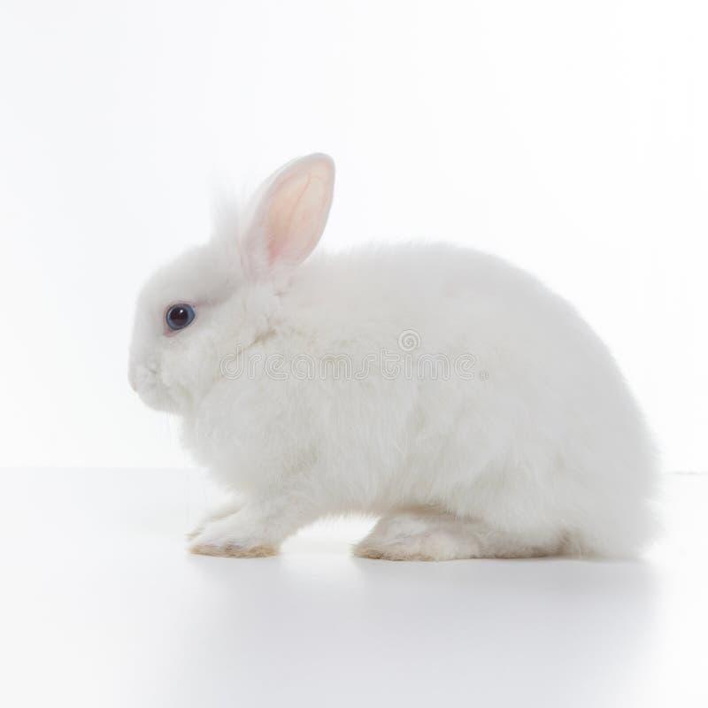 Free White Rabbit Isolated On White Royalty Free Stock Image - 37433236