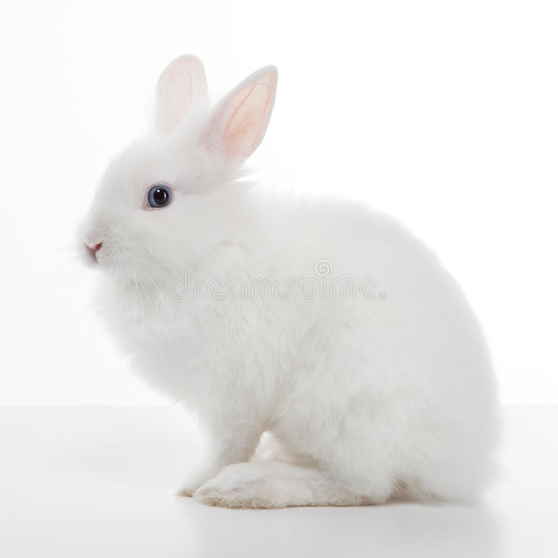 White rabbit isolated on white. Background stock photos