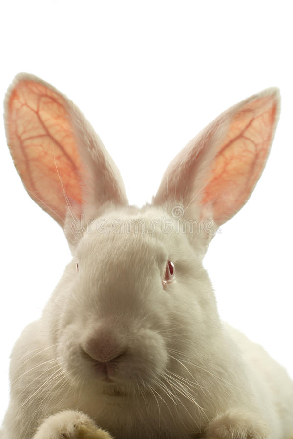 The white rabbit is isolated on a white background stock image