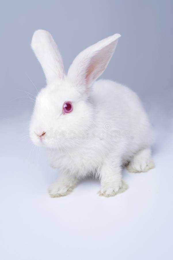 White rabbit on a light gray background. royalty free stock image