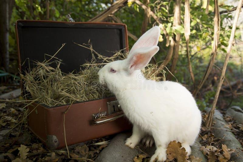White Rabbit royalty free stock image