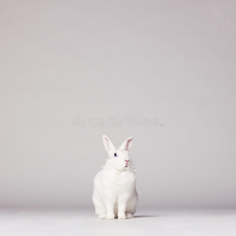 White rabbit. Studio photo of white rabbit on white background royalty free stock photos