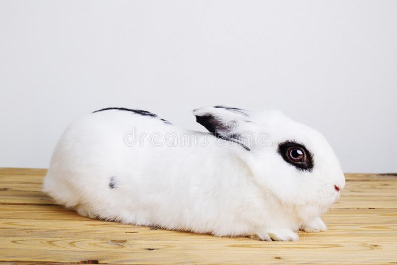 White rabbit on the white background. In the studio stock images