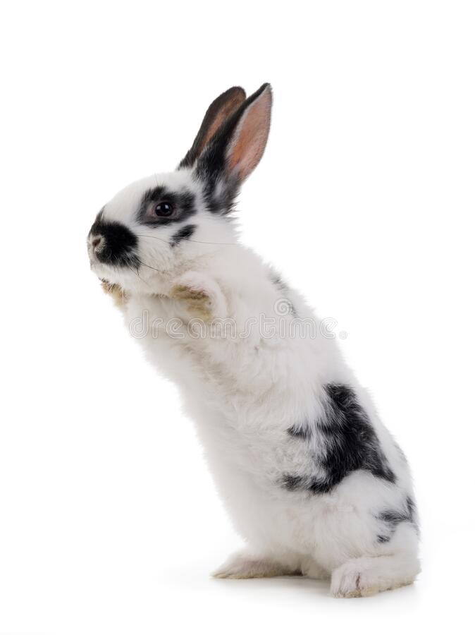 Free White Rabbit With Black Spots Stands On Its Hind Legs Isolated On A White Royalty Free Stock Image - 194708796
