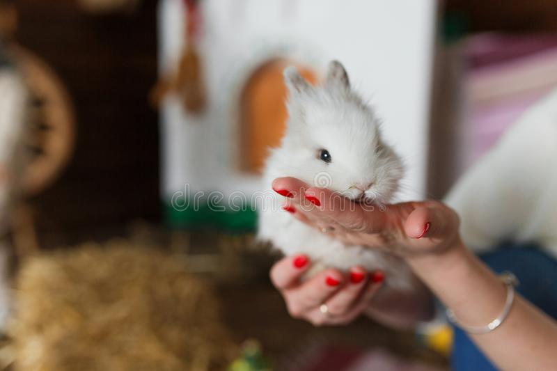 White rabbit in woman hands at blurred interior royalty free stock photography