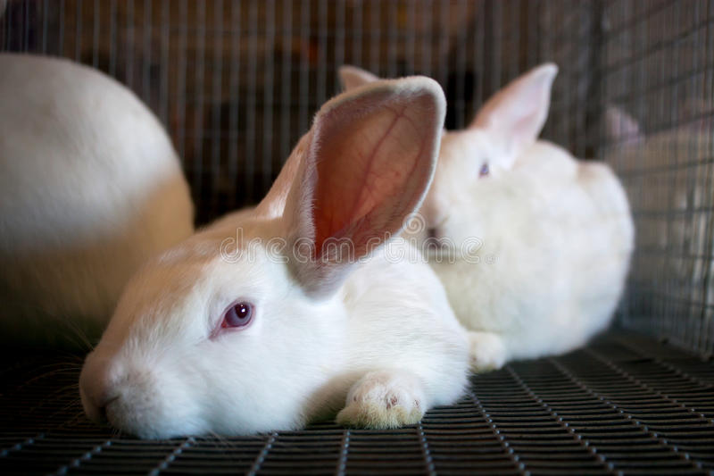 Download White Rabbits In A Wire Cage Royalty Free Stock Images - Image: 20632559