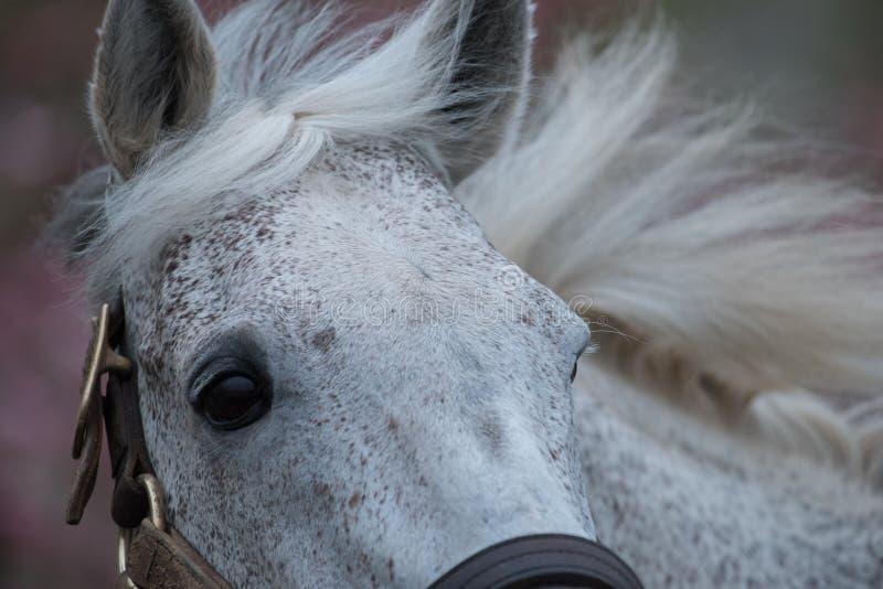 White Racehorse. Macho Uno a famous racehorse, currently at Adena Springs in Kentucky stock photos