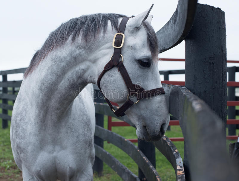 White Racehorse. A white racehorse peaks at us through is fence stock photography