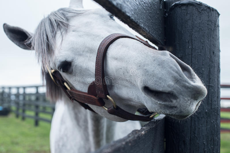 White Racehorse. A white racehorse peaks at us through is fence royalty free stock photography