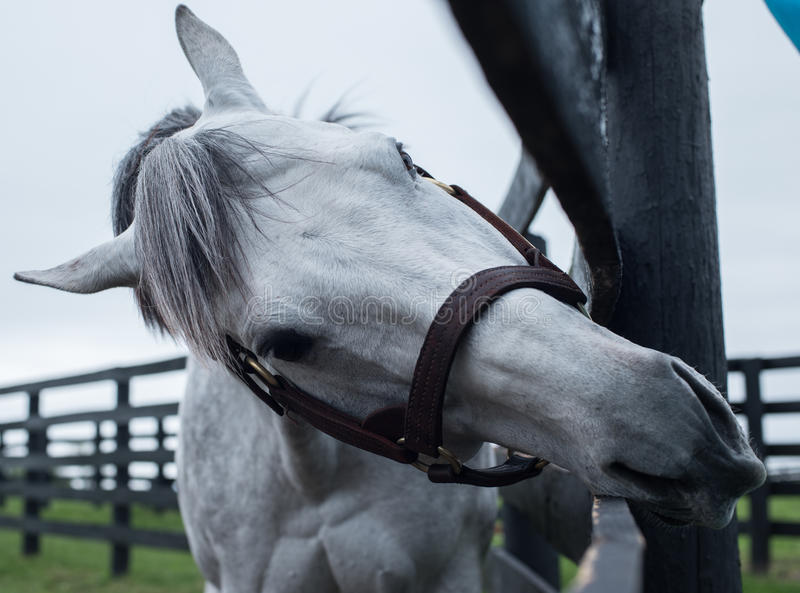 White Racehorse. A white racehorse peaks at us through is fence stock photos