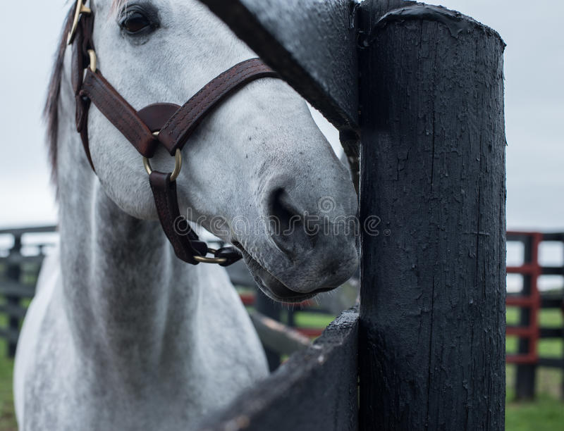 White Racehorse. A white racehorse peaks at us through is fence stock image