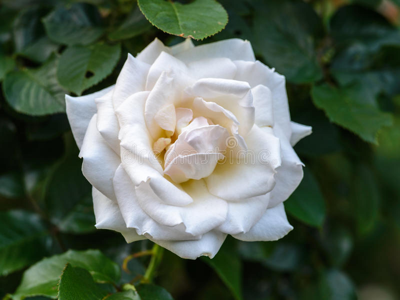 White 'Racy Lady' Rose. Flower in japan royalty free stock photography