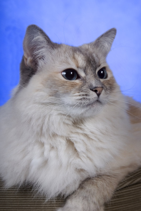 White ragdoll cat. White pure bred ragdoll cat with blue eyes stock photo