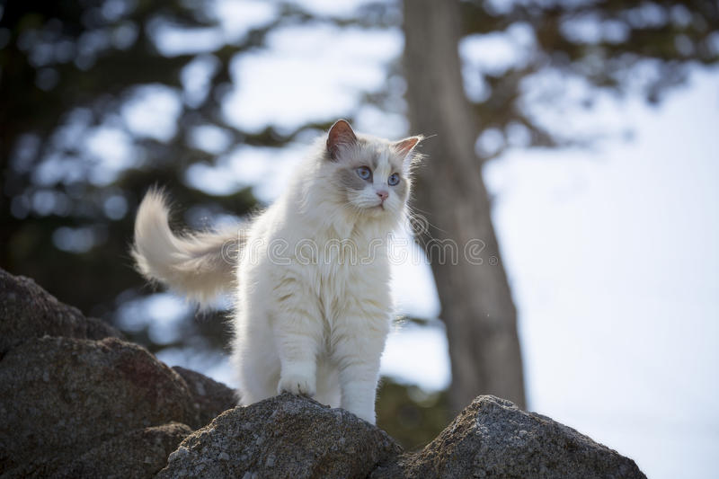White Ragdoll Cat. A white ragdoll cat climbs a rock on a sunny spring day stock photos