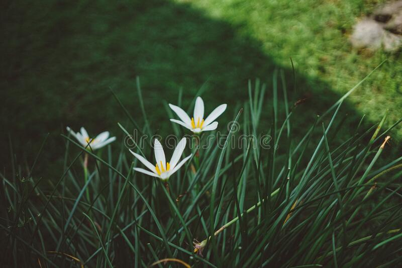 White Rain Lilies at Daytime Close Up Photography stock photography
