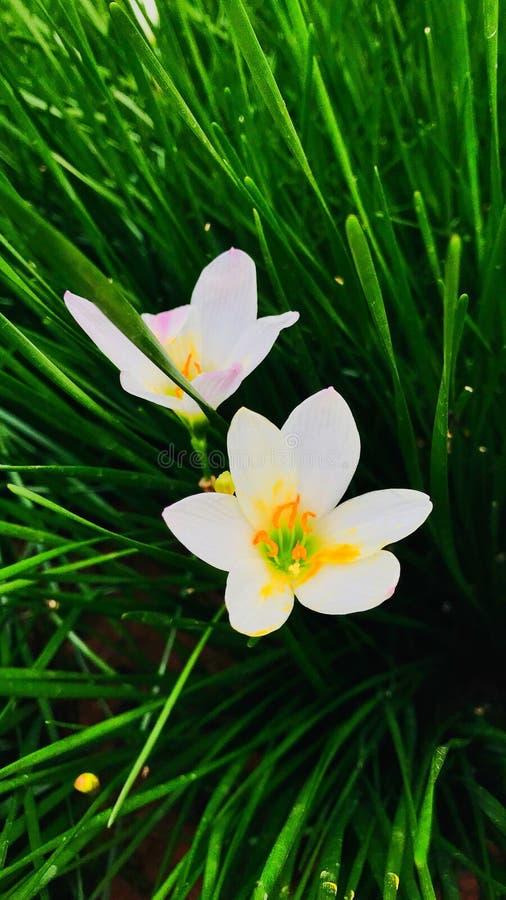 White Rain Lily & x28;Zephyranthes Candida& x29; stock photo