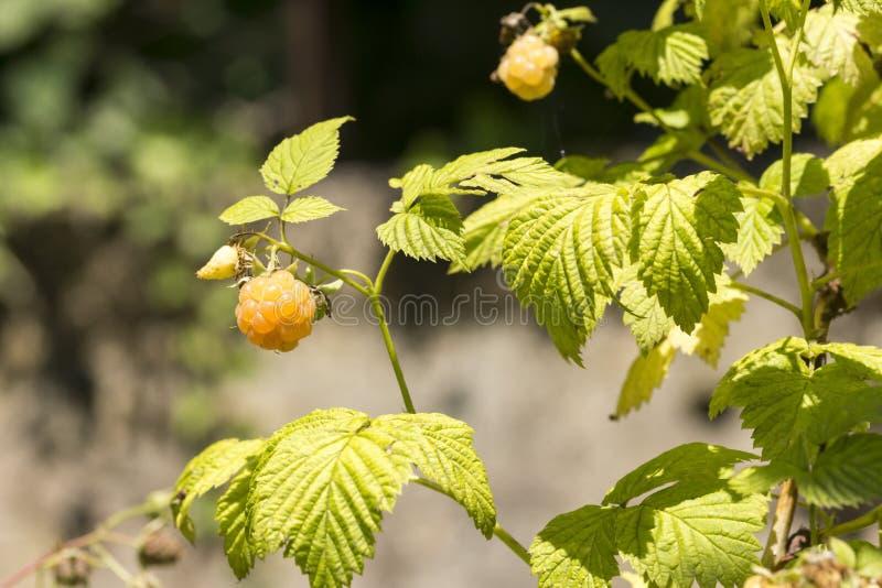 White raspberries on the plant stock photos