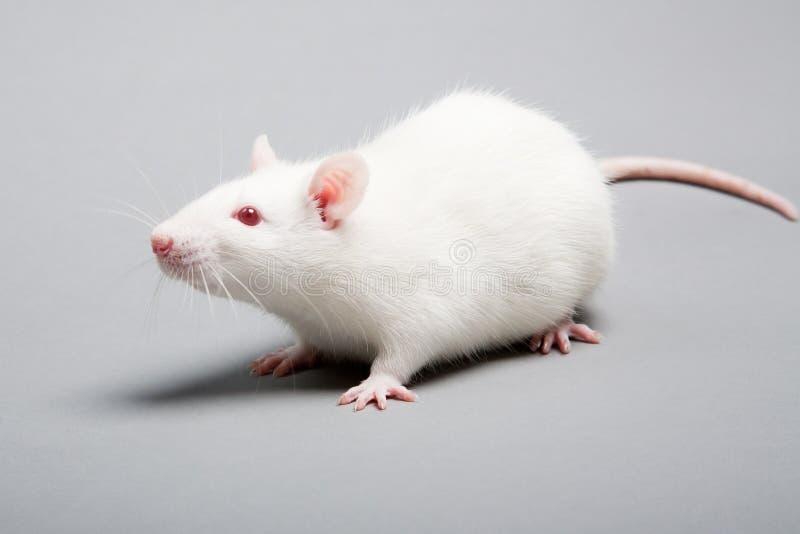 White rat royalty free stock images